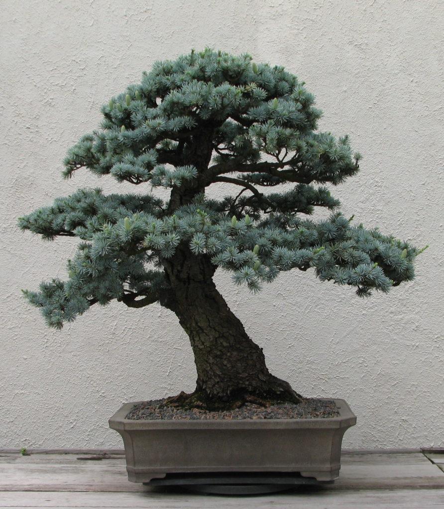 Blue Atlas Cedar Bonsai Tree