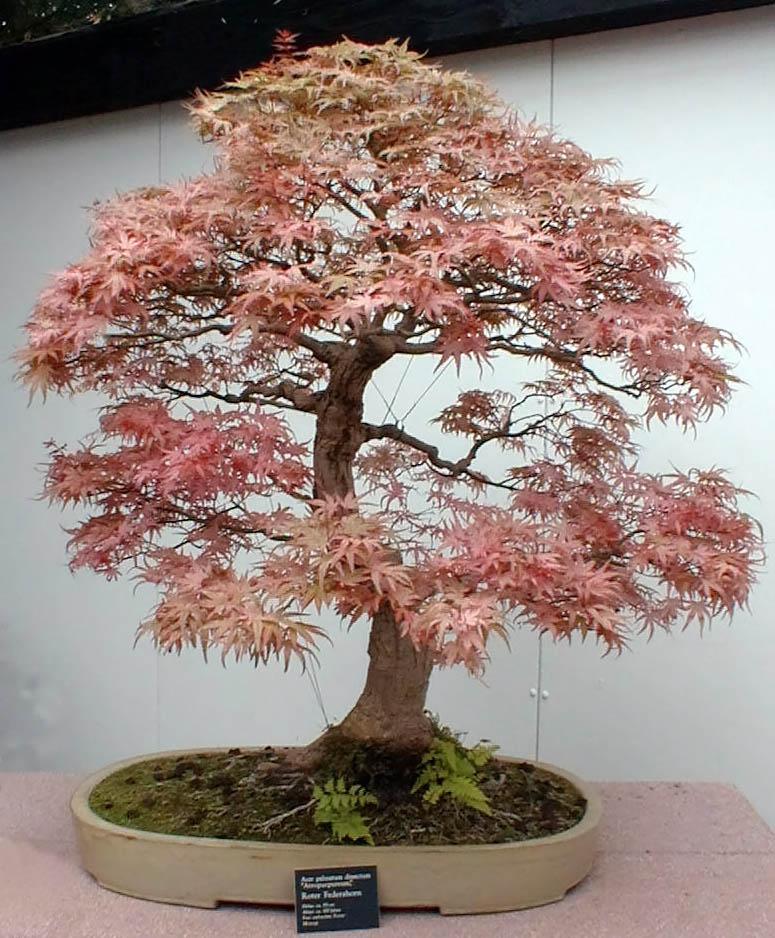 Roter Facherahorn Bonsai
