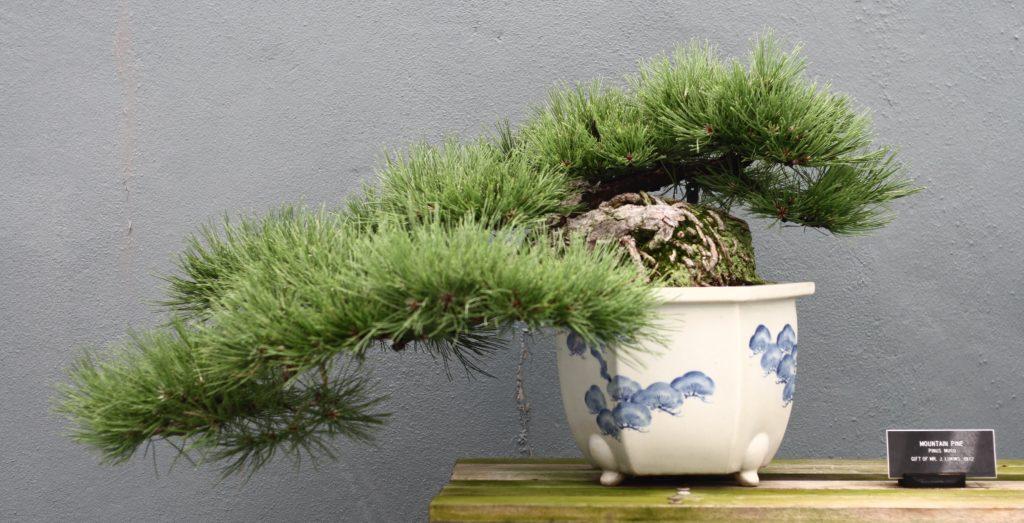 Semi Cascade Mountain Pine