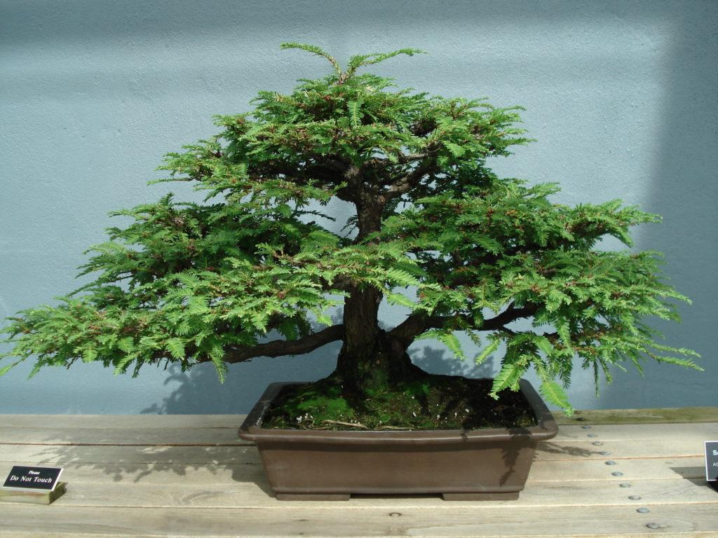 California Redwood Bonsai Tree