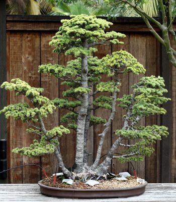Atlas Cedar Bonsai Tree