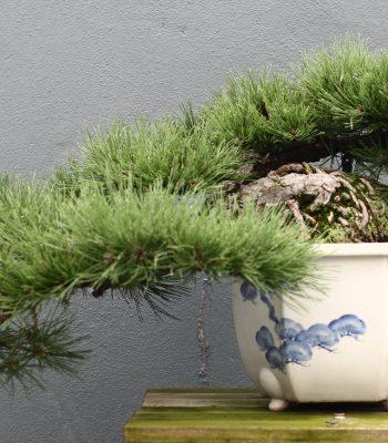 Pinus Mugo Bonsai